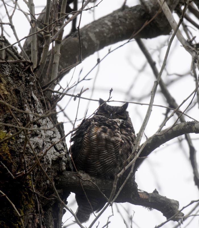 owl_lo